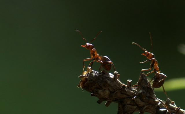 Two hairy wood ants on a branch