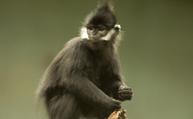 A Francois' langur sitting on a tree stump
