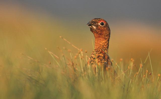 A male red grouse amongst grass