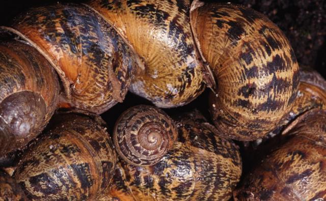 A group of garden snails hibernating together