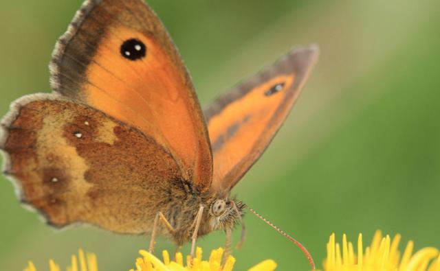 Gatekeeper on yellow flowers (c) Brian Kirby