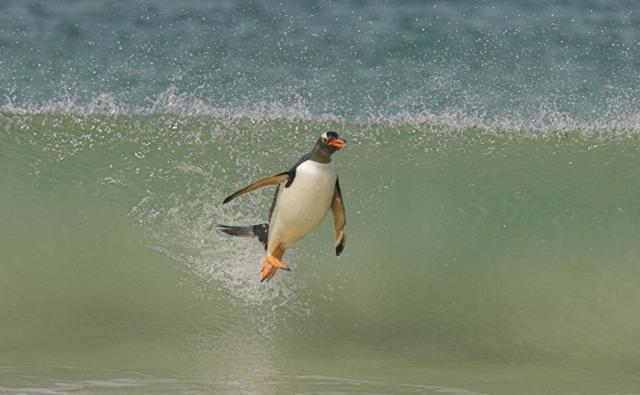 Gentoo penguin surfing into shore on a wave
