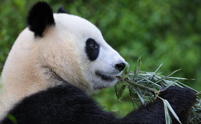 the panda bear report Get giant panda facts and pictures from national geographic kids.