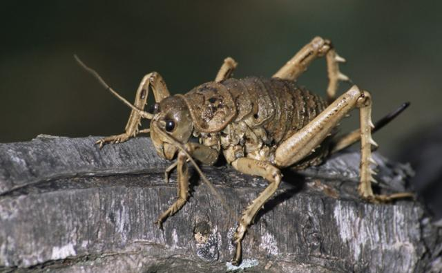 A female Cook Strait giant weta