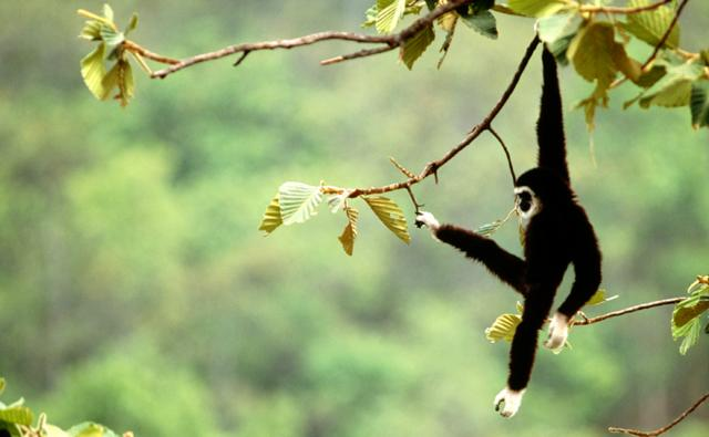 A white-handed gibbon swinging in a tree