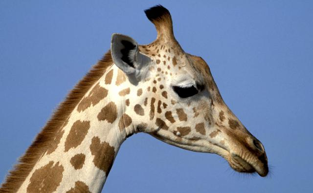 A profile of a giraffe