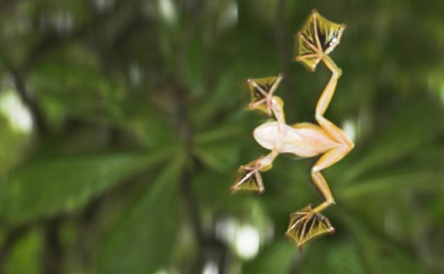 Wallace's gliding frog in mid-glide