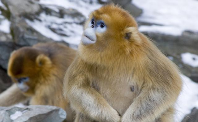 Golden snub-nosed monkey sitting on rock