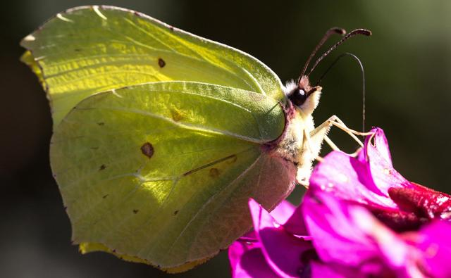 Brimstone on a pink flower (c) Julia Martin