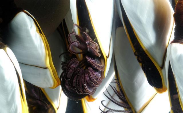 Goose barnacles underwater