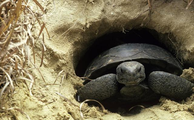 A gopher tortoise in its burrow