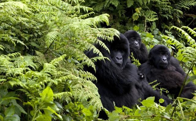 A group of mountain gorillas
