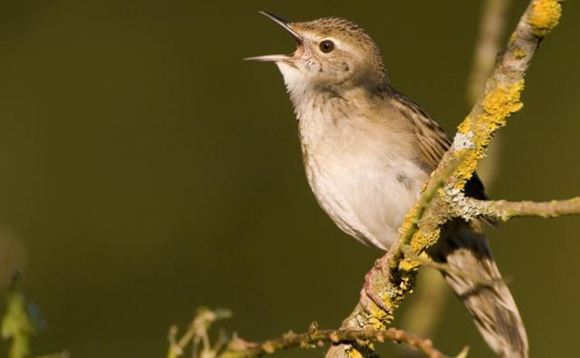 Grasshopper warbler singing from a branch