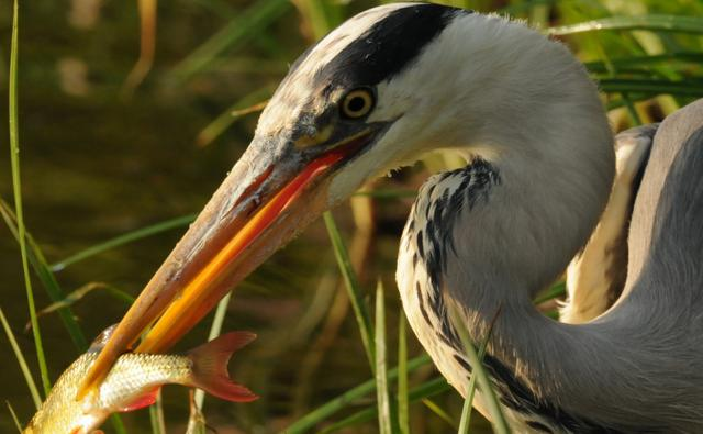 Grey heron with a fish (c) Daz / SWAN MAN