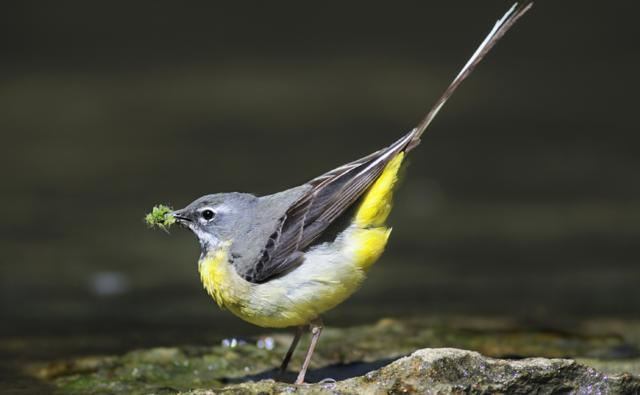 Grey wagtail collecting food for nestlings at the edge of a stream