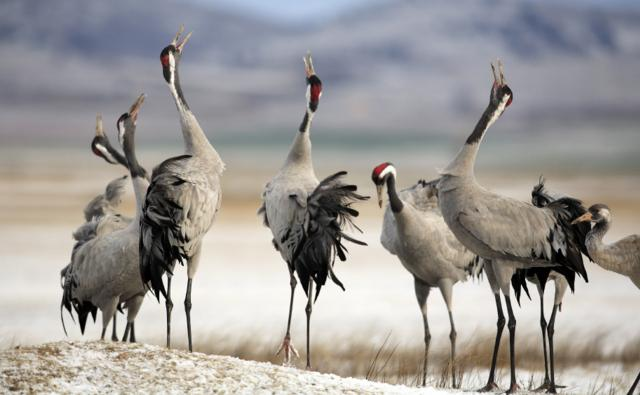 Common cranes calling with heads raised in the air
