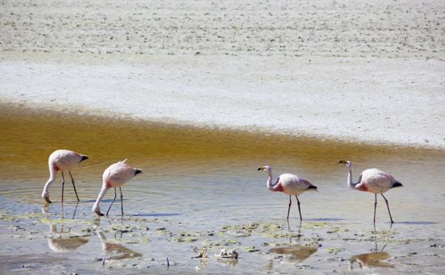 Juvenile James flamingos feeding at a salt lake