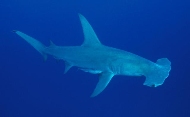 Hammerhead shark - photo#19