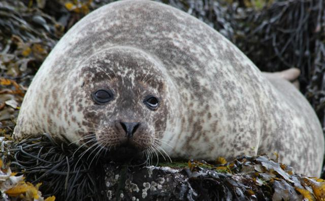 Common seal rests on the beach
