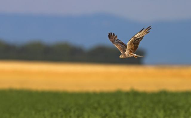 Montagu's harrier in flight over field