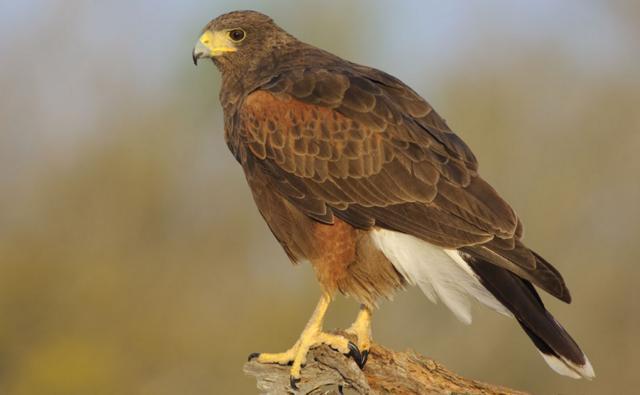 Harris hawk on a log