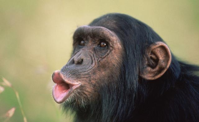 A chimpanzee making a pant hoot call