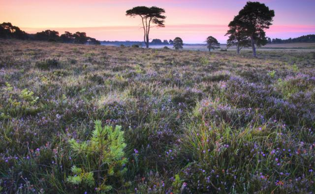 Wildflowers and pine trees in the New Forest National Park