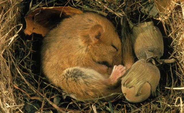 A hibernating dormouse curled up asleep in its nest next to hazelnuts