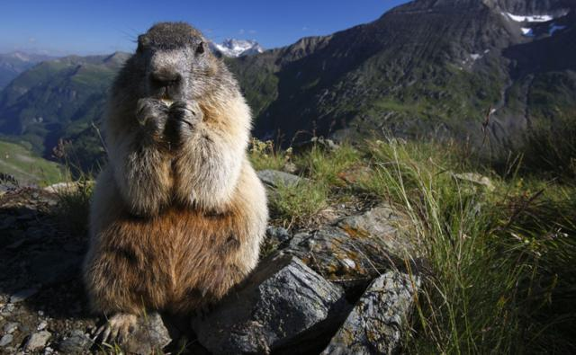 An Alpine marmot feeding