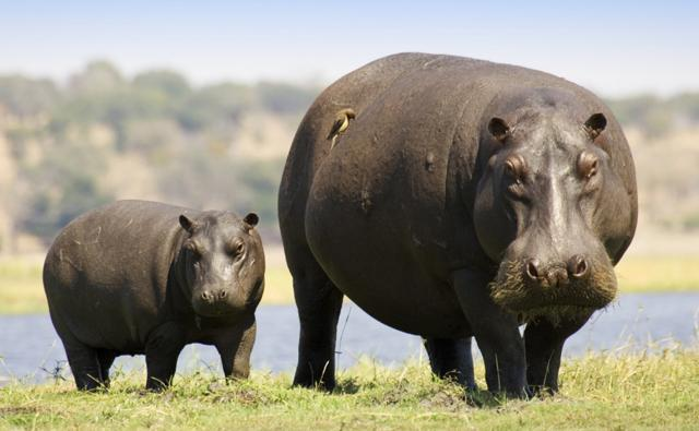 Hippopotamus standing with a calf next to water