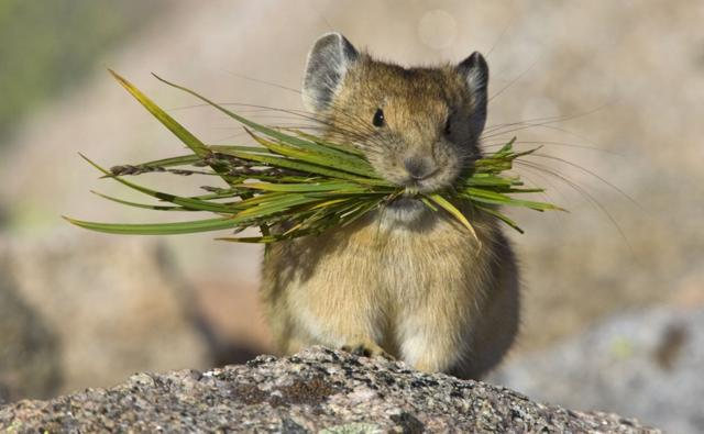 North American pika carrying grasses to store as winter food