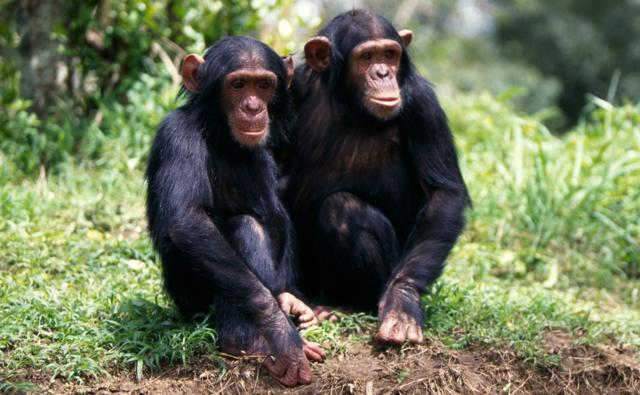 Two chimpanzees sitting together
