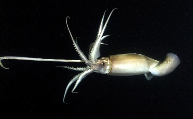 Humboldt squid at night