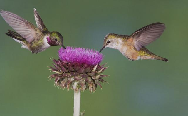 A male and female broad-tailed hummingbird feeding on a musk thistle