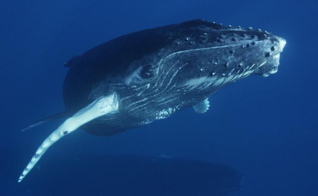 humpback whales underwater