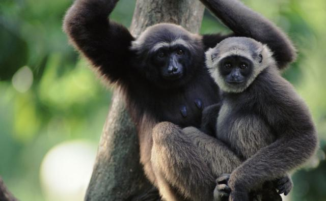 Grey gibbon female and juvenile