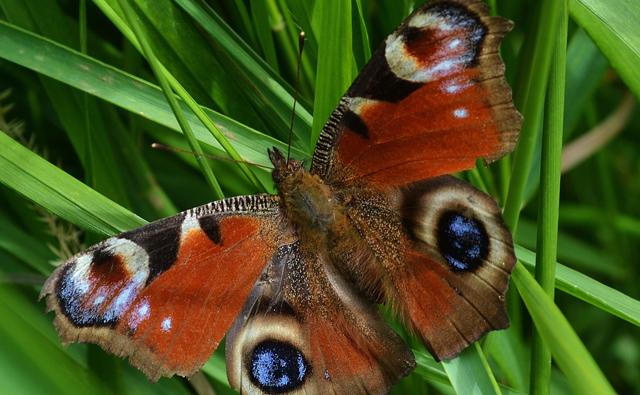 A peacock butterfly on grass (c) Dawn Burkey