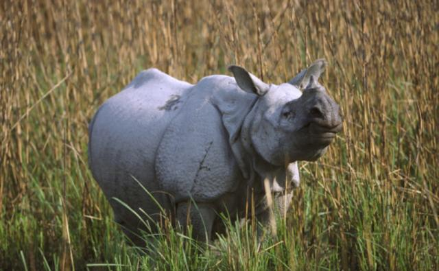 An Indian rhinoceros