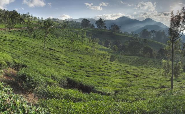 Tea plantations, Munnar, Kerala, India