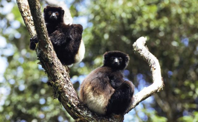 Two Milne Edwards sifaka up a tree