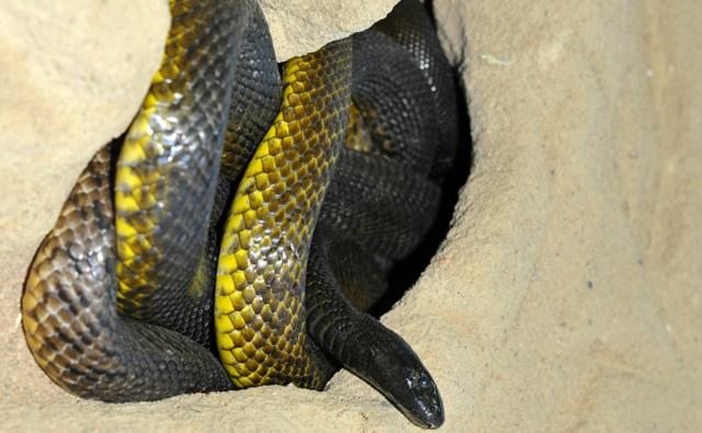 Inland taipan in sandy burrow