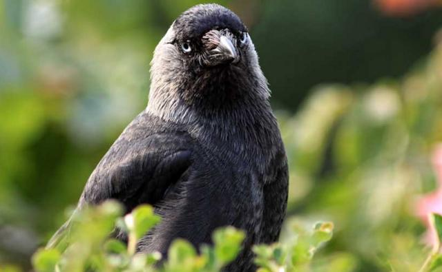 Protrait of a jackdaw (c) Olive Taylor