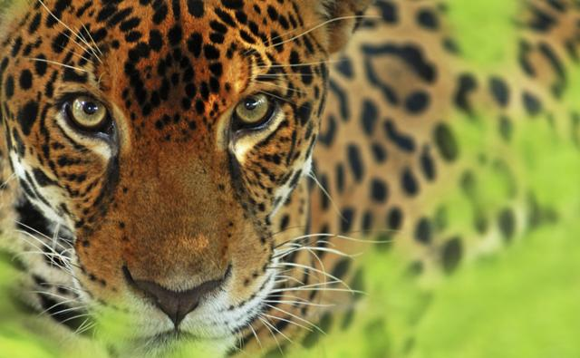 Close-up of jaguar looking into camera