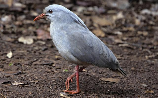 Kagu walking on forest floor