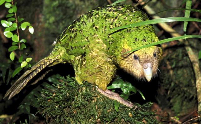 A kakapo in the forest