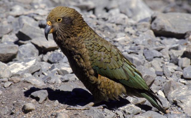 A young kea on the ground
