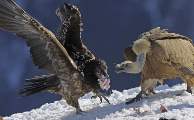 Juvenile lammergeier with meat in its beak and a griffon vulture attempting to steal it
