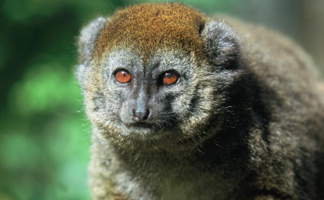 Alaotran gentle lemur portrait
