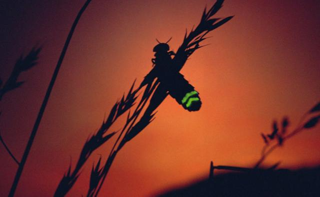 A female Glow Worm beetle glowing at sunset to attract a mate