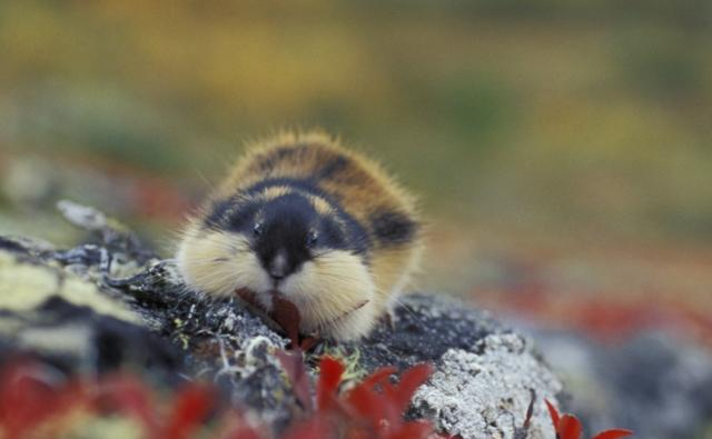 Norway lemming on tundra in Norway